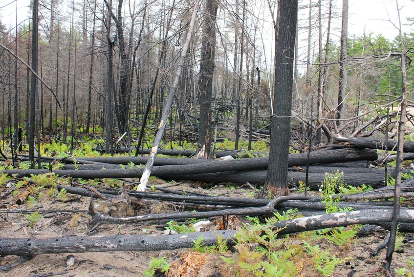 A carpet of green was starting to regrow in some areas in September 2017 after the Seven Mile Lake forest fire in Annapolis County a year earlier. Nova Scotia's Lands and Forestry Department said the dry lightning that hit some parts of the province earlier this week is a concern because no rain accompanied it.
