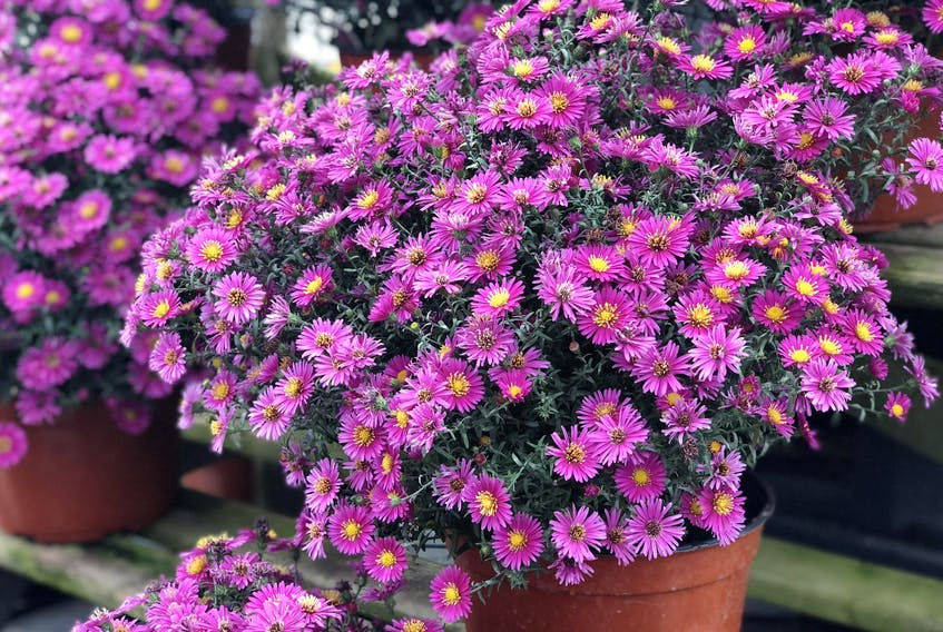 The foliage colours of ornamental cabbage and kale intensify as the temperature drops in autumn.