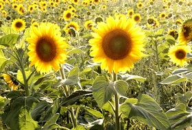 The sunflower maze takes months of planning, plowing and planting to prepare. With such a short blooming time, the flowers have been planted in sections that open about every 10 days. The whole family is involved in the planning, producing and operation of the maze. - Heather Killen