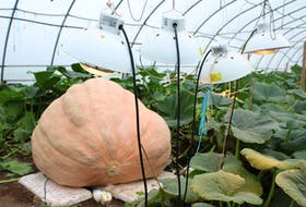 Heat lamps ensure a temperate climate for Mahmood Naqvi's pumpkins, which include two gourds dedicated in memory of Millville farmers Jeanne Eyking and Joe King, who both played pivotal roles in promoting agriculture on Boularderie Island.