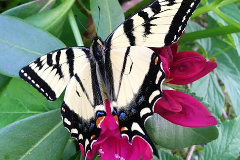 Native plants attract the other beauties to your garden, like this yellow swallowtail butterfly.