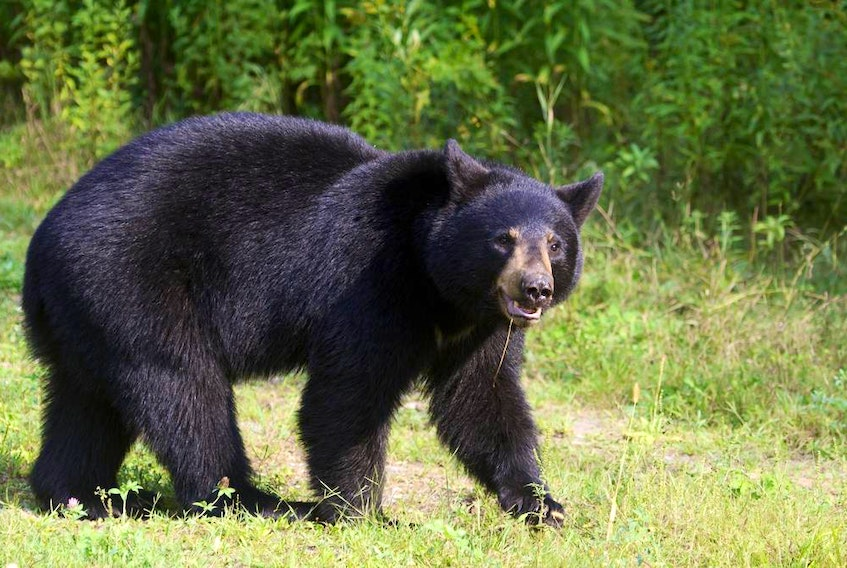 A Nova Scotia judge has doubts that a sexual assault even happened after woman was chased by a bear.