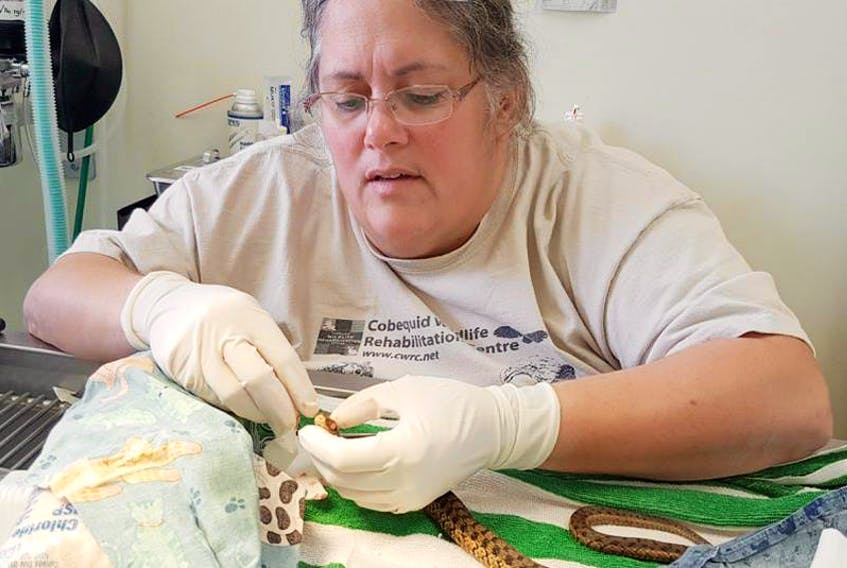 In this file photo, Dr. Helene Van Doninck performs her first-ever surgery on a snake, when a garter snake with infected eyes came to the Cobequid Wildlife Rehabilitation Centre. Van Doninck will give presentations on the effects of lead ammunition and tackle in Glace Bay on Feb. 21.