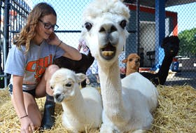 """Tennsey Honey, an alpaca from Norma and Robert Silverstein's Albert Bridge Alpacas Farm, seems to be questioning what the photographer is looking at, while welcoming cruise ship passengers at the Joan Harriss Cruise Pavilion in Sydney on Tuesday. Tennsey Honey is shown with her """"cria,"""" — the proper term for a baby alpaca — Ginger Gem, farm volunteer Nikki Magliaro and alpaca Annabelle and her own cria, 'Fandango.'  The Silverstein family operates a booth at the pavilion when cruise ships are in, where they sell clothing and other products made from the fibre found in alpaca hair. The family grants tours of their farm by appointment and also holds open farm days. They plan to bring some alpacas back to the cruise pavilion Sept. 19 and Oct. 8."""