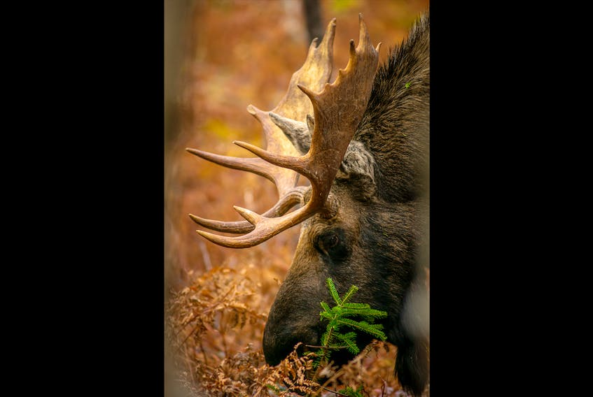 I positioned myself at a safe distance with lots of trees between myself and the moose as he grazed without interruption.