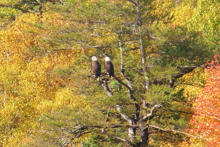 A familiar fall scene in River Ryan is these two bald eagles who often make an appearance on a tree branch near the New Bridge.