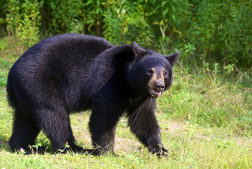 A black bear is shown in this file photo.