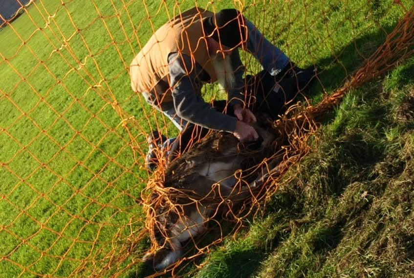 Malcolm Lewis is shown comforting a large deer caught in a soccer net at a Coxheath walking track. SUBMITTED PHOTO