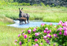 A mother moose and her calf enjoy a drink in a rural area of Inverness County on July 15. Tammy Aucoin, who goes by the Twitter handle Cape Breton Hiker, snapped the photo from inside her car so as not to disturb them. CONTRIBUTED/TAMMY AUCOIN