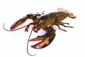 A lobster is shown in this photo found on the Victoria Co-operative Fisheries Ltd. website. The sudden drop in seafood consumption in China due to the coronavirus could affect prices on the docks in Cape Breton this spring, says one industry expert.