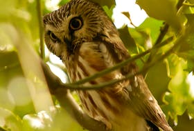 A northern saw-whet owl as photographed by Brendan Lally.