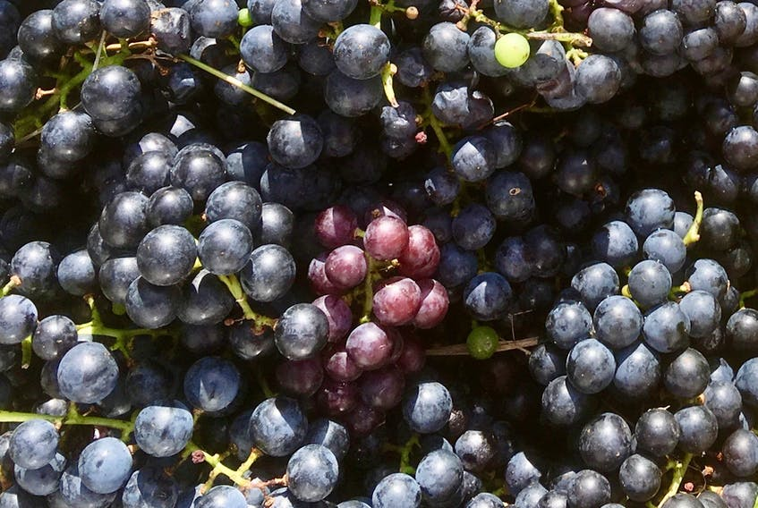 Concord grapes grow well in Cape Breton and have a real flavour punch.