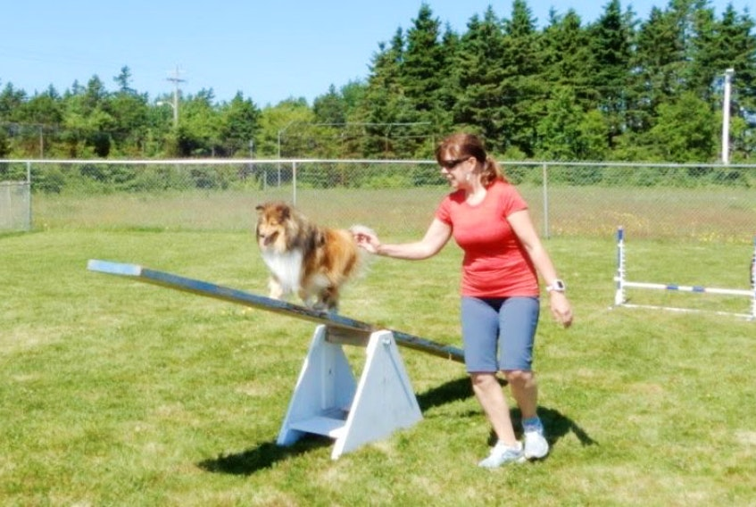 Vera Dickson of River Bennet guides Piper up the teeter while husband Everett and younger sheltie Ellie wait their turn, at a training session at The Millville Community Centre.