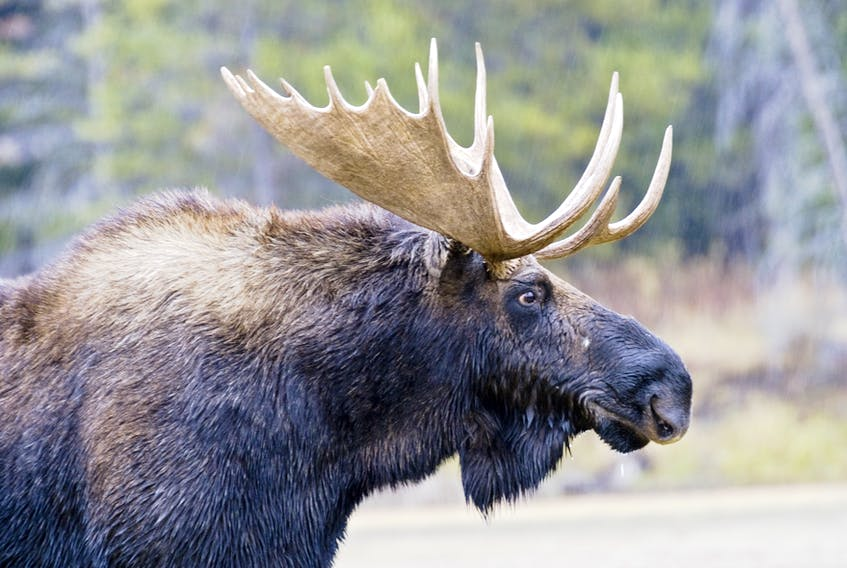 Recently wrapping up its fourth season, Parks Canada says its moose cull inside the Cape Breton Highlands is showing promising preliminary results. The initiative was launched in 2016 as a part of the Bring Back the Boreal pilot project. Through the program, hunters harvested 10 bulls and six cows in 2018.