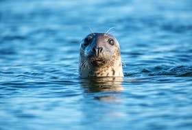 A common seal is shown in this stock image. Harbour seals are most common of Nova Scotia's four coastal seal species that also includes harp, hooded and grey seals.