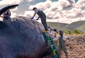 """Marine experts are shown conducting a necropsy on the North Atlantic right whale """"Puncuation,"""" in Petit Etang earlier this week. The deal whale was located near the Magdalen Islands June 20 and towed by the Canadian Coast guard to Petit Etang on Monday. Fisheries and Oceans Canada said preliminary necropsy results revealed sharp trauma, consistent with a vessel strike. Fisheries and Oceans Canada also announced a sixth North Atlantic right whale was found dead in the Gulf on Thursday."""