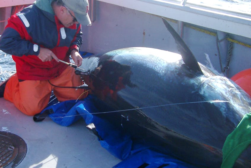 Steve Wilson of Stanford University and Tag-A-Giant applies a pop-up satellite tag onto a giant bluefin aboard the Bay Queen IV off of Port Hood during tagging activities in 2008.