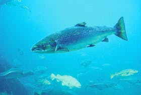 A recent study concluded that Atlantic salmon have the ability to navigate by using the Earth's magnetic field.