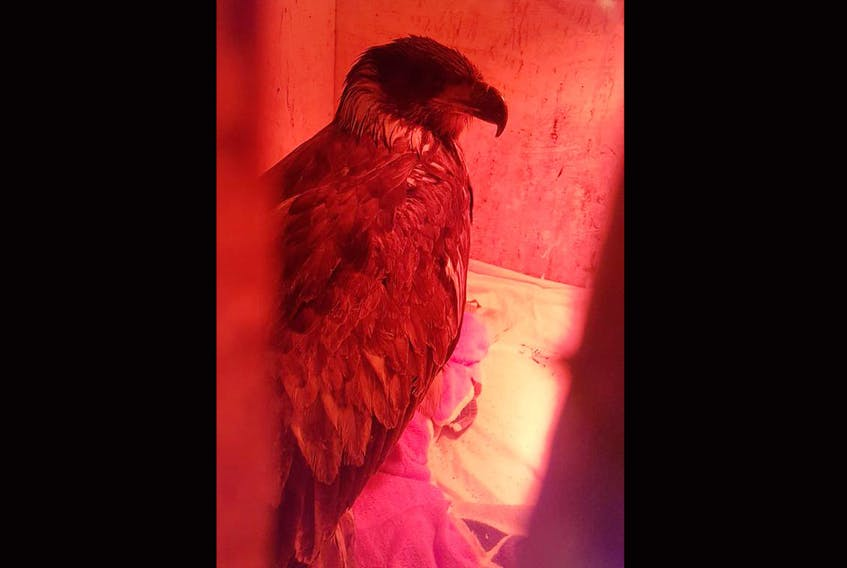 An emaciated bald eagle is shown recovering at Cobequid Wildlife Rehabilitation Centre on Tuesday, hours after falling out of the sky and into the back of a pickup truck in Belliveaus Cove, Digby County. - Murdo Messer