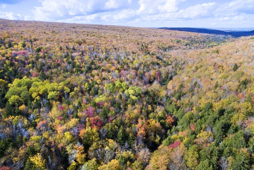 This mature sugar maple forest in Colchester County is protected land, but not all of Nova Scotia's forests are so lucky. A Soren Bondrup-Neilson writes, old-growth forests are at particularly high risk, and could contain species both undiscovered and endangered.