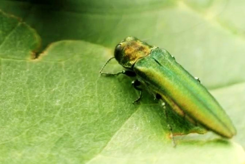 The emerald ash borer has been confirmed in Bedford, the first confirmed appearance in Nova Scotia. Currently there are no regulations in place to deal with the tree-destroying beetle. - Canadian Food Inspection Agency