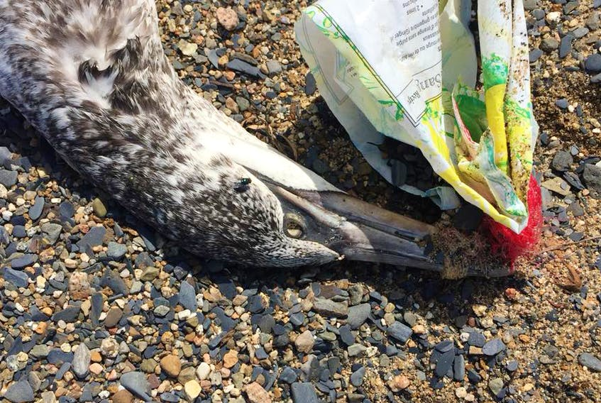 This photo from the Plastic Free Lunenburg Facebook page shows a dead gull with plastic wrapped around its beak. They say it was discovered on a Lunenburg County beach.