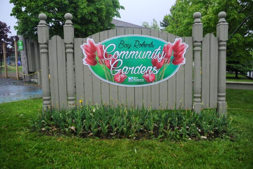 The Bay Roberts community garden recently had to deal with tulips being clipped and trampled.