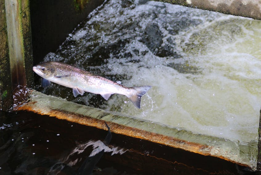 The Department of Fisheries and Oceans has released an interim management approach for Atlantic Salmon in Newfoundland and Labrador.