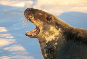 The 400,000 grey seals on the Gulf of St. Lawrence are currently having a negative impact on codfish stocks in the southern part of the gulf.