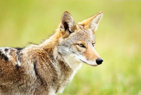 Since first being reported in the mid-1980s, coyotes have spread throughout Newfoundland. Currently, they number in excess of 4,000.