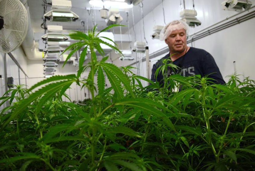Frank MacMaster, president and head grower at Highland Grown in Ohio, Antigonish County, checks his crop.