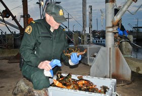 A federal fisheries officer checks a crate of lobster at the start of the 2019/20 commercial fishery season in southwestern Nova Scotia.