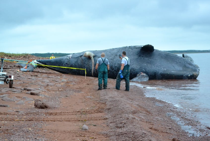 Members of a recovery team keep watch as the body of Comet, a North Atlantic right whale is pulled onto the Phee Shore beach in Norway Friday morning.
