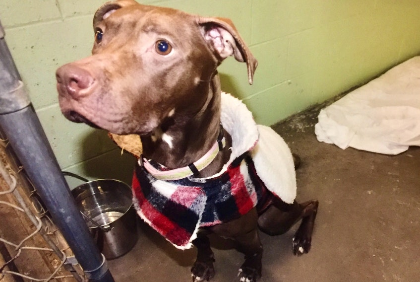 A pit bull named Nutmeg is shown in February 2019, two months after she was brought to a veterinary clinic in Dartmouth suffering from emaciation. The dog's former owner pleaded guilty to a charge of animal cruelty and has been placed on probation for 18 months.