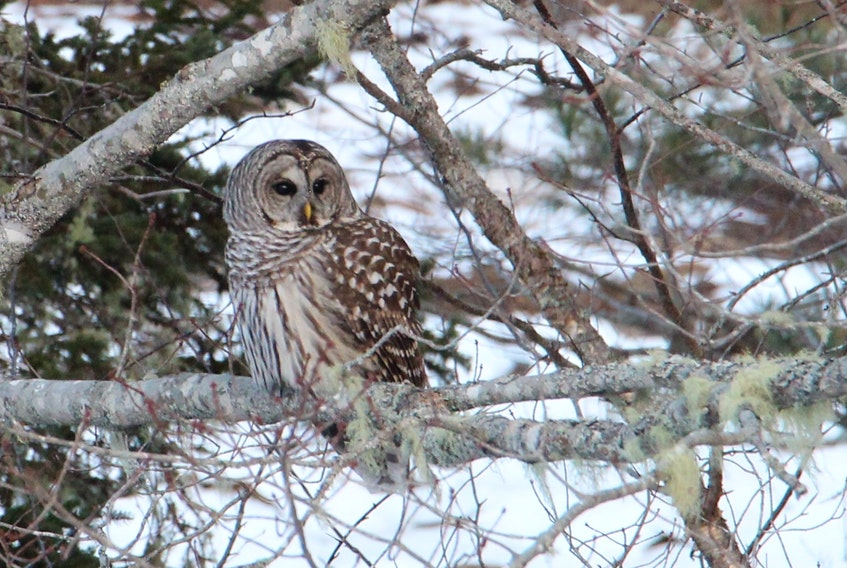 Tanya and her husband keep feeders in their yard and love to watch the birds come and feed. Last week, they spotted a nocturnal visitor. This lovely, barred owl sat high in the trees, above the feeders, just long enough for Tanya to get the camera.  The excitement unfolded on Moser's Island in Glen Margaret, N.S.