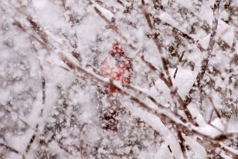 """Geralyn Howell took this stunning photo of one of her many """"garden visitiors"""" during January's snow storm in Canada Creek on the Bay of Fundy. It almost looks like a resilient flame in the roaring winter storm."""