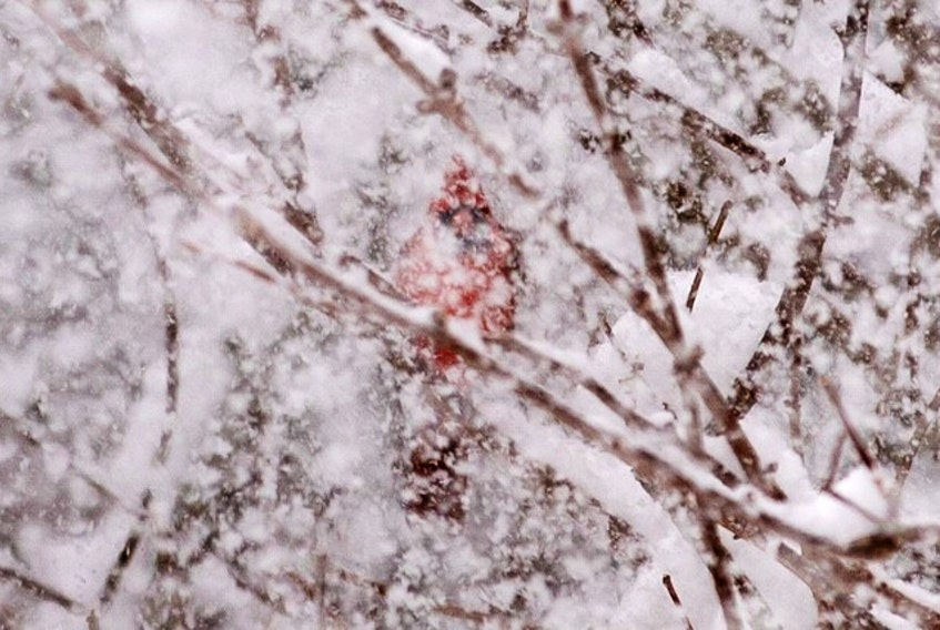 "Geralyn Howell took this stunning photo of one of her many ""garden visitiors"" during January's snow storm in Canada Creek on the Bay of Fundy. It almost looks like a resilient flame in the roaring winter storm."
