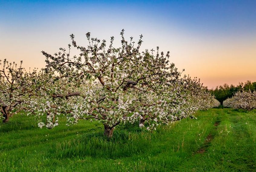 """Not a drop of rain fell on this lovely orchard near Grafton, N.S. on Saturday.  Barry Burgess says the apple blossoms were at their peak. Grandma Says """"it's going to be a dry summer – just ask St Medard!"""""""