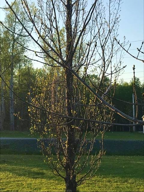 Oak before ash, only a splash. The ash tree branch in the foreground is well behind the buds of the columnar oak behind it. Leanne MacArthur Matthews made this observation on her property in Woodburn, N.S.