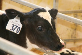A day-old calf was one of the animals visitors to Dal AC Community Day were able to view.