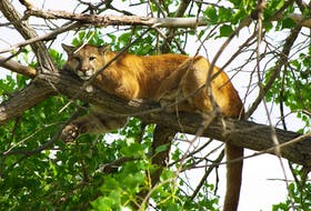 This Western Cougar is spotted in a tree in Colorado. The Western Cougar's cousin, the Eastern Cougar has been thought to be among the Nova Scotian forests, however, experts have found no trace of the animal after extensive searches.