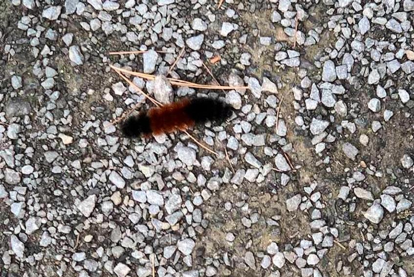 Karen Jensen spotted this caterpillar last September on the Bridgewater trail.