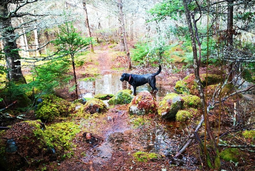 I'm not sure who was having more fun on the Woodland Trail, Randy Squires or his furry friend, Sophie.  There was still no snow along Nova Scotia's Eastern Shore, near Tangier Harbour, last weekend.