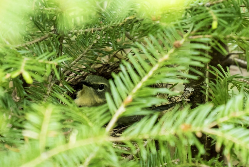 This Magnolia Warbler, a migratory bird, was spotted on its nest in balsam fir branches at the Corbett Lake forest that was under harvest prescription by the provincial government. Biologist Scott Leslie, who has been to the site four times in the past week, said his wife discovered to nesting bird late on June 13. On June 14 Lands and Forestry Minister Iain Rankin halted the harvest citing concerns about possible species at risk sighted in the area. The department will investigate. He said there is no timeline on the investigation. - Leslie Photo