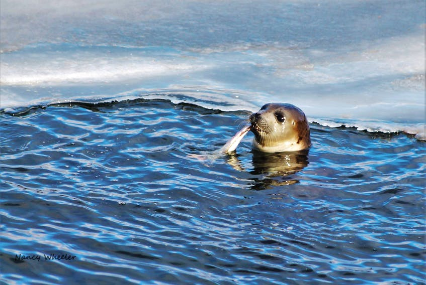 Nancy Wheeler of Cottlesville took this photo on Sunday of a seal enjoying a meal of fresh caught fish.