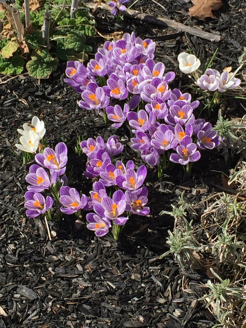 """It looks like spring is settling in nicely in Port Williams, N.S. Connie Millett sent this photo of some newly sprouted spring flowers when she was out and about last week.  She wrote: """"... the temperature was about 15 degrees.  The bees were buzzing around them so I had to be careful."""" Thank you for sharing, Connie."""