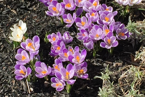 "It looks like spring is settling in nicely in Port Williams, N.S. Connie Millett sent this photo of some newly sprouted spring flowers when she was out and about last week.  She wrote: ""... the temperature was about 15 degrees.  The bees were buzzing around them so I had to be careful."" Thank you for sharing, Connie."