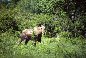 An endangered mainland moose leaps into action after being spotted by Bob Bancroft near Alma, Pictou County, 20 years ago.