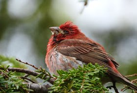 Regurgitated food, difficulty swallowing and lethargy were the tell-tale signs of Trichomonosis in this male purple finch which was filmed and photographed in Cape Breton on June 14, 2019.