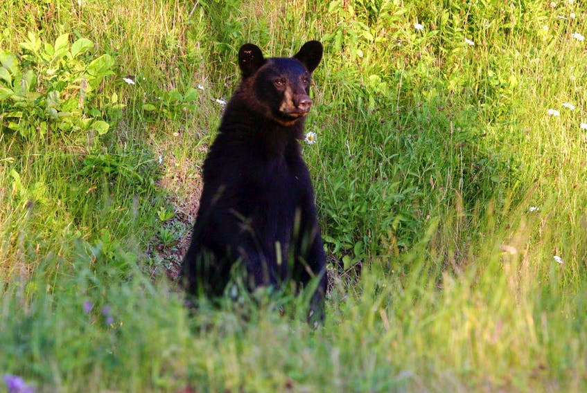 Black bears are being frequently seen around the county as they emerge from their long winter sleep. The Department of Natural Resources is urging people to use common sense when discarding their compost and garbage so black bears are not attracted to their properties.